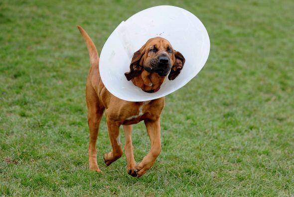 El entropión en perros es la inversión de los bordes del párpado en dire...
