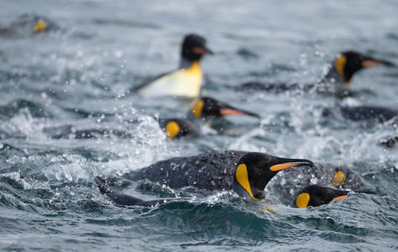 Exilio o muerte para el pingüino rey debido al cambio climático istock-9...