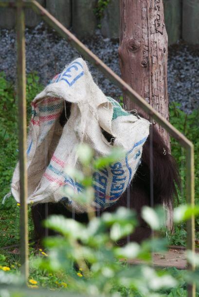 Gambira de 16 años de edad fue la única de cinco orangutanes en utilizar...