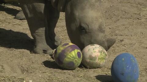 Elefantes y rinocerontes de un zoológico celebran la Pascua con un festín