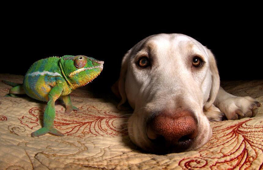 Un labrador y un camaleón se hicieron los mejores amigos