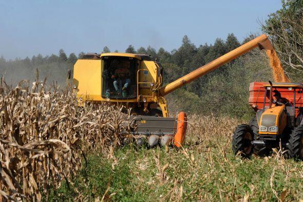 El cultivo de maíz transgénico no está permitido en Paraguay. Sin embarg...