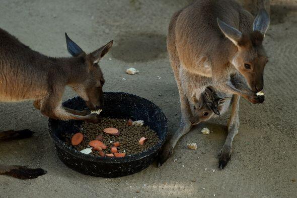 Por ejemplo, estos canguros en el zoológico.