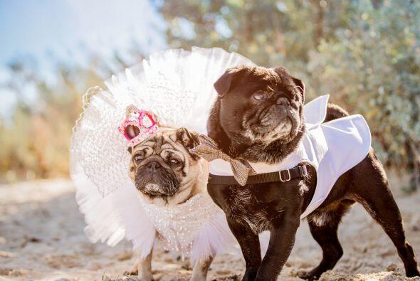 Este par de pugs tuvo una boda de ensueño.