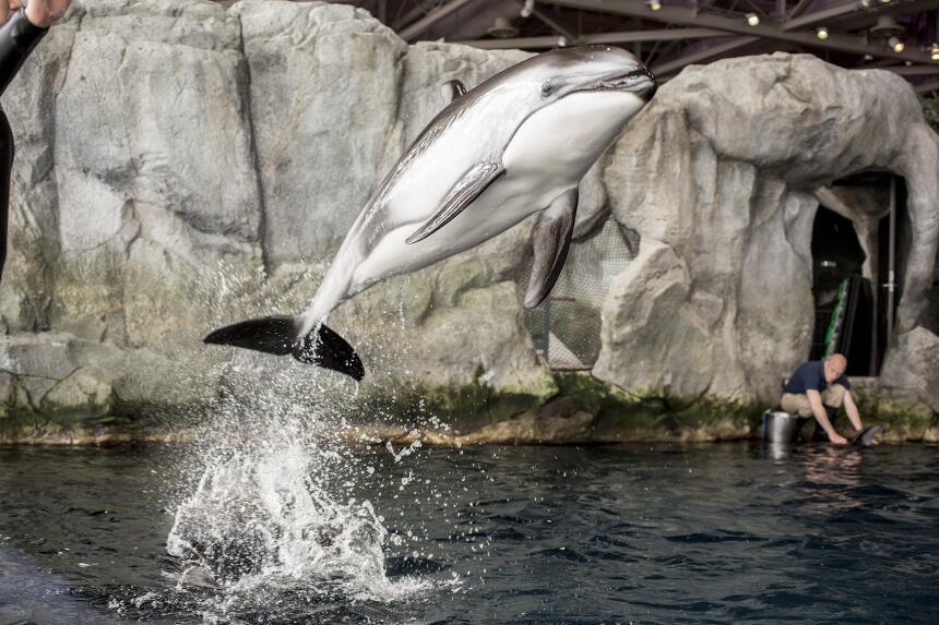 El Acuario dio a conocer que una de sus delfines, Katrl, una delfin de 2...