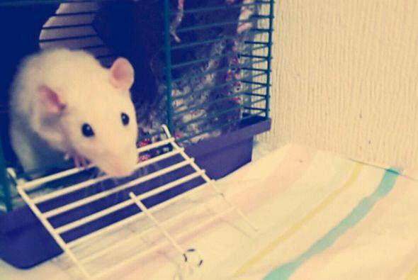 Compasión Los ratones han demostrado que pueden sentir compasión por otr...