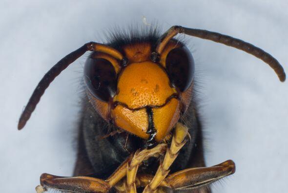 Para su tamaño, las abejas poseen un intelecto inmenso. Su cerebr...