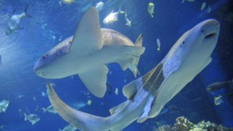 Diminuyen los ataques de tiburones en Florida.