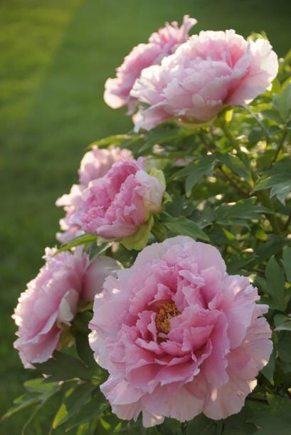 ¡Qué bien huele! ¿Quieres inundar tu jardín de color y un aroma delicios...