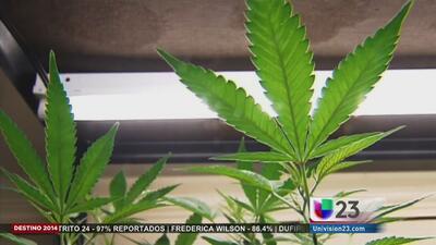 Marihuana medicinal no logra el 60 %
