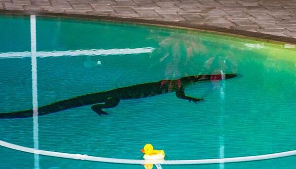 El caimán encontrado en la piscina de Nancy Bloch, en Palm Harbor.