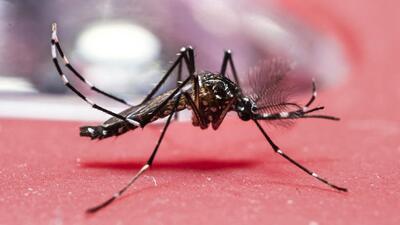 Mosquito Aedes aegypti  que transmite el Zika y otros virus.