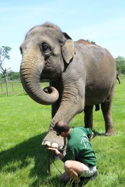 El tratamiento de 'spa' es muy benéfico para estos elefantes, ya que es...
