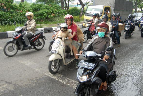 Con sólo su dueño o en grupo, ellos disfrutan de andar por...