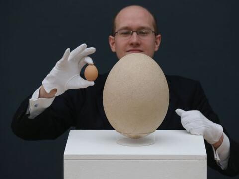 Un rarísimo ejemplar de huevo de la extinta 'ave elefante', de Ma...