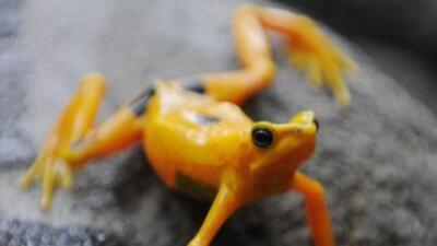 La situación de la rana dorada panameña, símbolo ecológico y cultural de...