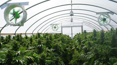 Ya son 29 estados en los que está permitido el uso medicinal y en...