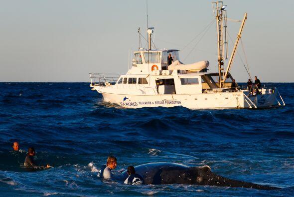 Afortunadamente y después de las horas de espera la ballena quedó a salvo.