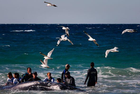 Es importante identificar a las ballenas que están varadas en las playas...
