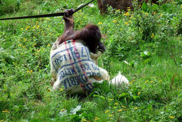 Esta vez Gambira utilizó el saco para vestirse, pero demostró un poco má...