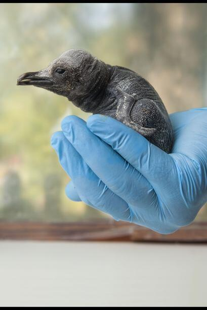Es la única cría de pingüino real que ha nacido en Gran Bretaña en cinco...