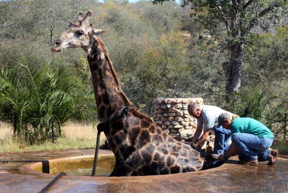 Para empeorar la situación, los machos jirafas adultos pueden pesar alre...
