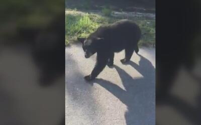 En video: El encuentro cercano entre un policía y un oso negro