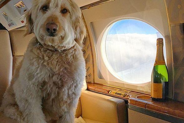 Este perro sólo viaja en la comodidad de un jet privado.