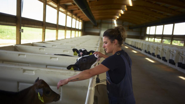 Abby Driscoll atiende dos de las más de 400 vacas lecheras de su granja...