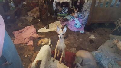 Entre orina y escombros, 49 animales son rescatados de una vivienda en Texas