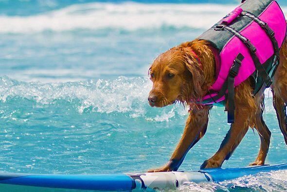 Es nada más y nada menos que un perro de terapia que además sabe surfear...