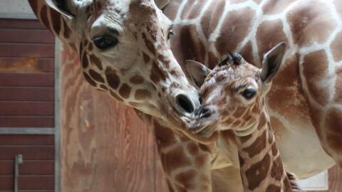 El zoológico tiene otras seis jirafas y la recién nacida t...